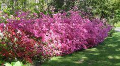 Azalea pruning tips - Homestead Gardens