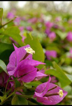 Buganvilla. Esta planta se caracteriza por las brácteas coloreadas que rodean a las flores.Pertenecen a la familia de las Nyctaginaceae.