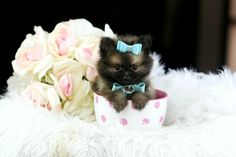 Pomeranian - how can you not smile when you see this baby?  #teacuppuppiesstore #954-353-7864 #Teacuppuppiesstore.com