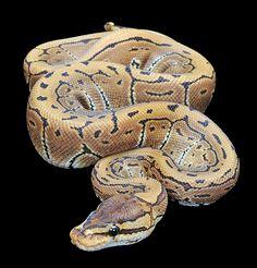 Pinstripe Ball Python