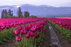 Skagit Valley  Pink...