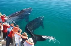 Argentina whale watching in the Valdes Peninsula. Tour Puerto Madryn and enjoy a whale watching cruise in Patagonia, Argentina. Visit Argentina, Argentina Travel, Argentina Culture, Hills Resort, Elephant Sanctuary, In Patagonia, Travel Activities, Whale Watching, Buenos Aires