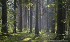 Photos from the ancient primeval forest of Białowieża. View more photos from Poland/Belarus' Białowieża National Park here - http://www.picturesoftheplanet.com/places/National-Parks/Bialowieza-National-Park/