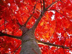Red Oak Tree by Julie aka Piper Falk