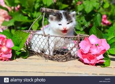 Download this stock image: 3 weeks, flower, flowers, garden, house, home, Animal, domestic animal, pet, young, cat, basket, kitten, baskets, tiredness, tig - C8J8P8 from Alamy's library of millions of high resolution stock photos, illustrations and vectors.