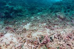 coral reef decay | dead coral reef coral reef in beqa lagoon, fiji islands Coral Reef Bleaching, Fiji Islands, Mother Earth, Decay, Stock Photos, Children, Water, Travel, Outdoor