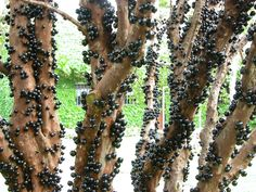 This is called Jabuticaba. It tastes delicious and is amazing because it fruits from it's trunk.
