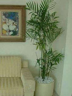 Muda De Palmeira Chamaedorea Elegans