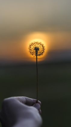 http://www.vactualpapers.com/gallery/a-dandelion-at-sunset-mobile-hd-wallpaper