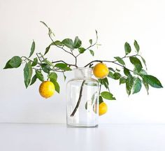 Lemon branches in a vintage large apothecary jar
