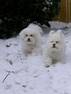 Bichon love from Charles Dickens and Mr. Wickham! They look like bunnies in the snow!