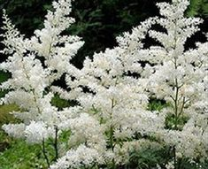 Astilbe White - Astilbe - Flowers and Fillers - Flowers by category | Sierra Flower Finder