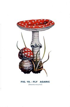 Vintage Art Botany Print, 1926 Image, Edible and Poisonous, Fly Agaric, Mushroom, Fungus Fig.19, Toadstool, Natural History, Lithograph