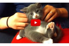 Kitten With Many Toesies Gets A Massage - Love Meow