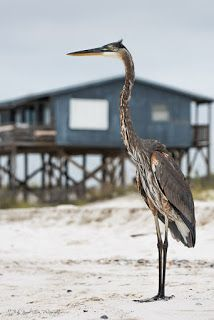 """Seeing Through God's Eyes: A great blue heron """"Towering Above""""."""