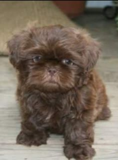 Chocolate Shih Tzu Puppy | Bored Panda