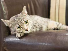 Ägyptische Mau: Wunderschöne, geheimnisvolle Katze - Seite 5