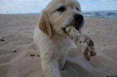 Un chiot découvre la plage et le bonheur ! http://www.lafermedesanimaux.com/