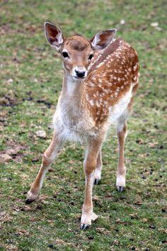 A deer at a Wildlife park in Daun, Germany
