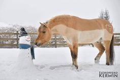 www.horsealot.com, the equestrian social network for riders & horse lovers | Equestrian Lifestyle : fjord pony in the snow.