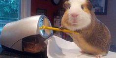 Guinea Pig Doing Stuff