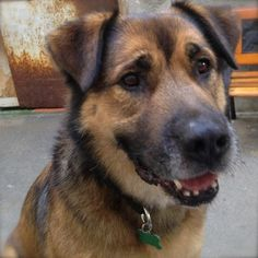No longer available - Mack - Leonberger/Shepherd mix - Los Angeles, CA.  9 yrs old