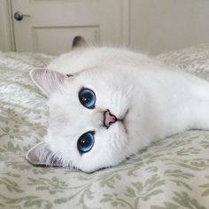 The most beautiful cat in the world.
