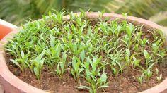 DIY Herb Garden Ideas : Growing Cilantro Step by Step Care Ideas - Diy Craft Ideas & Gardening Diy Herb Garden, Potager Garden, Easy Garden, Garden Ideas, Garden Fun, Edible Garden, Garden Planters, Vegetable Garden, Backyard Garden Landscape