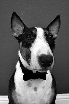 #Bullterrier Gentleman #English #Bull #Terrier #Dog #Terriers #Dogs #DogPhoto #DogPortrait