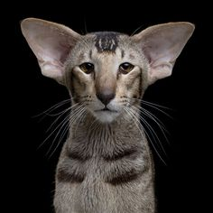 """""""Animal Soul"""": Beautiful Portraits Of The Bad-Ass Cats By Robert Bahou"""