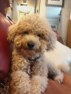 Thank you Dalia for sharing with The Poodle Patch Community...