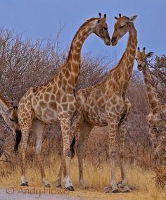 Giraffes in love! Giraffe Pictures, Warm Showers, Warm Bed, Cute Giraffe, All About Animals, Camels, Wander, Shark, Cute Animals