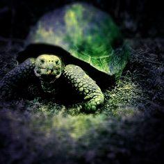 Giant-turtle-Floriana-Island-Galapagos-Ecuador