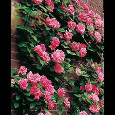 I have a nice limited crop of Zephirine Drouhin thornless pink climbing #roses ready now !