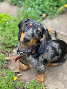 Dapple Dachshund, Dogs, Photos, Animals, Pictures, Animales, Animaux, Pet Dogs, Doggies