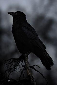 Raven 1 - VonWindwesen