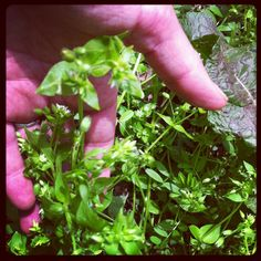 Chickweed-  a delicious early spring wild edible