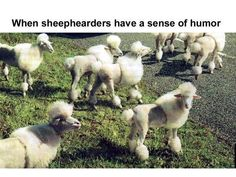 Sheep styled like poodles.