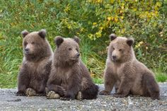 Three little brown bear cubs Cute Baby Animals, Animals And Pets, Funny Animals, Wild Animals, Bear Fishing, Bear Cubs, Baby Bears, Grizzly Bears, Tiger Cubs