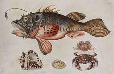 File:Maria Sibylla Merian (attr) Tiefseefisch Krabben und Meeressschnecken.jpg