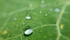 Macro shot of water droplets on nasturtium leaf in the pollinating garden.