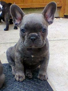 """So I'm going to get a blue French bulldog and name it Mano meaning """"shark"""" in Hawaiian"""