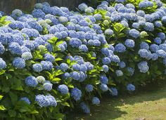 Nikko Blue Hydrangea Shrub 2019 This is what I want my yard to look like. In North central Texas? Nikko Blue Hydrangea The post Nikko Blue Hydrangea Shrub 2019 appeared first on Landscape Diy. Hydrangea Macrophylla, Hydrangea Shrub, Hydrangea Care, Limelight Hydrangea, Hydrangea Bloom, Shade Garden Plants, Garden Shrubs, Flower Plants, Herbs