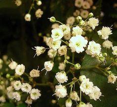Gipsówka wiechowata (Gypsophila paniculata)