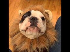 Manny the French Bulldog Chatters Away While Dressed as a Fuzzy Lion