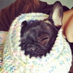 Lola the French Bulldog