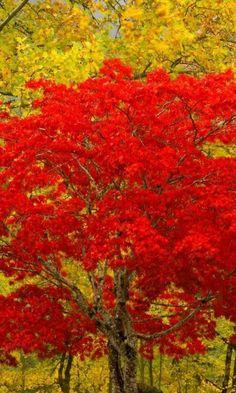 red-leaves-tree