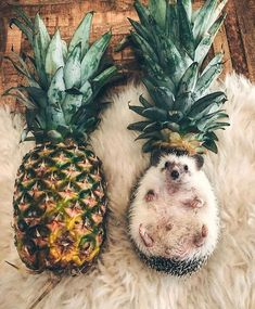 Igel scheinen die neuen Haustiere zu sein, wie hoch der Kuschelfaktor ist, kann keiner sagen oto: M R. Baby Animals Super Cute, Cute Little Animals, Cute Funny Animals, Cute Dogs, Cute Babies, Cute Little Things, Funny Babies, Baby Animals Pictures, Cute Animal Photos