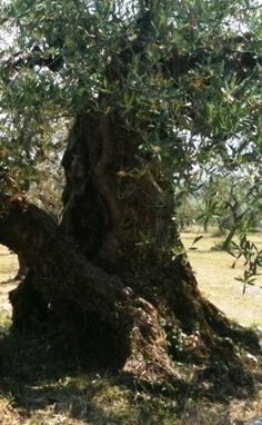 Ancient olive trees populate the green landscape of Umbria
