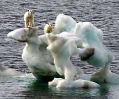 climate change/unusual habitats polar bears are endangered Save The Polar Bears, Green Environment, Animals Of The World, Endangered Species, Global Warming, Climate Change, Mammals, Habitats, Cute Animals